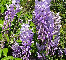 Wisteria Among the Citrus by Gary Kelly