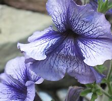 Pretty Purple Petunias by teresa731