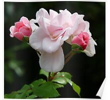 Delicate pink roses Poster