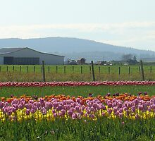 Skagit County Tulip Festival - Washington State by muddylilac