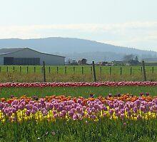 Skagit County Tulip Festival - Washington State by muddylilac