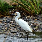 Snowy Egret by Carrie Blackwood