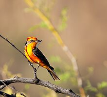 Vermillion Flycatcher? by pandapix