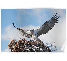 Returning to the nest - Osprey Poster