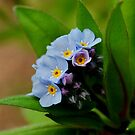 Forget-me-not by Joe Mortelliti