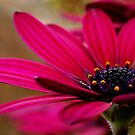 Purple Daisy by Joe Mortelliti