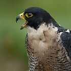 Hawk is talking to you by algill