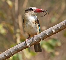 Brown hooded kingfisher with large spider for lunch! by jozi1