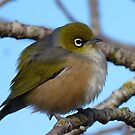 I'm sleepy! - Silvereye, Wax Eye - New Zealand by AndreaEL