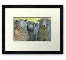 School Reunion! - Sheep - NZ - Southland Framed Print