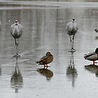 Sandhill Cranes On Ice, With Some Mallards by Wolf Read
