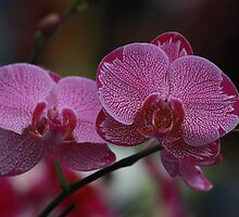 Orchids - Pink by Indrani Ghose