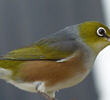 I'm sure I left it here! Silvereye - Wax Eye - New Zealand by AndreaEL
