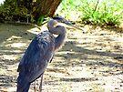Great Blue Heron by Kimberly Chadwick
