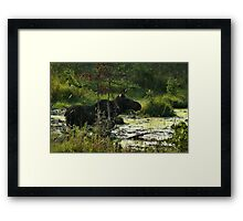 Cow Moose In Bog Framed Print