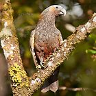 Kaka Parrot - New Zealand by Kimball Chen