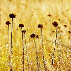 Dried grass by stevekellyphoto