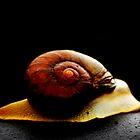 Snail  by stevekellyphoto