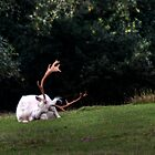 Albino Stag - New Forest by Jonathon Speed