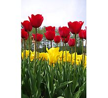 Tall Tulips Photographic Print