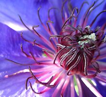 Clematis in bloom by Adele Nash