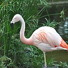Chilean Flamingo by Tamara Lindsey