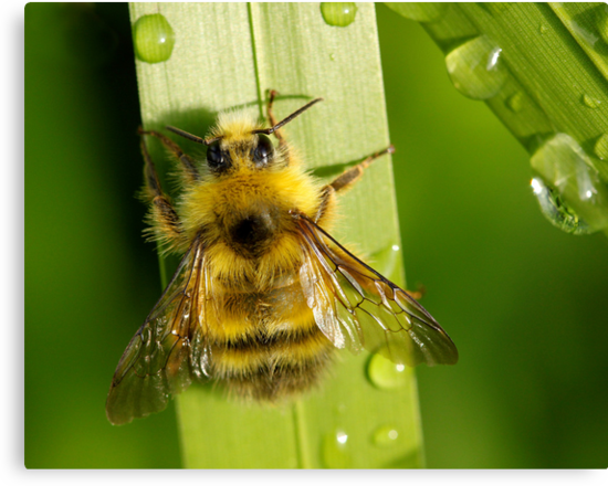 Bombus Mixtus: A Fuzzy Yellow Insect-Bear by Wolf Read