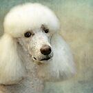 Standard Poodle by Susanne Correa