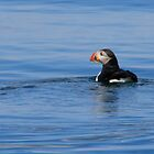 Puffin by Debbie  Roberts