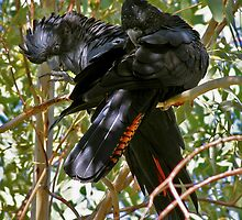 Red-tailed Black Cockatoos by Robert Elliott