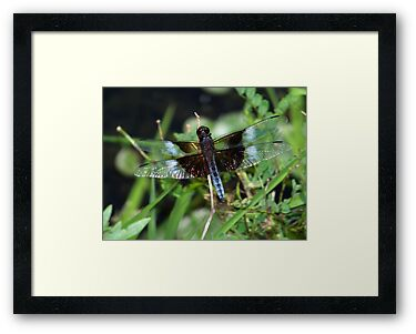 Blue widow skimmer. by William Brennan