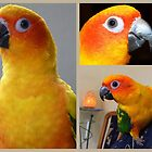 A Little Sunshine for 12 Months - Sun Conure - NZ by AndreaEL