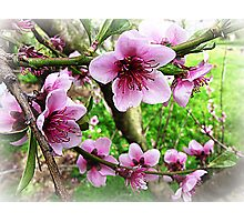 Nectarine Blossom with leaves forming Photographic Print