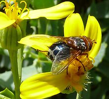 Carpenter Bee by bobby1