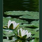 waterlily profile by LisaBeth
