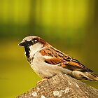 Sparrow by Danny Roozen