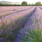 Lavender by Ian Middleton