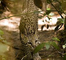 Ocelot by Todd Krebs