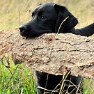 My labrador is always barking by Alan Mattison