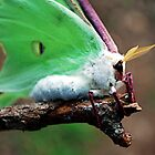 Luna Moth by Mattie Bryant