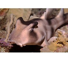 Crested Hornshark outside Sydney Harbour Photographic Print