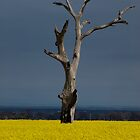 Its Canola,  Lola by Cathy  Walker
