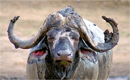 WHEN THE AFRICAN BUFFALO TAKES A MUD BATH by Magaret Meintjes
