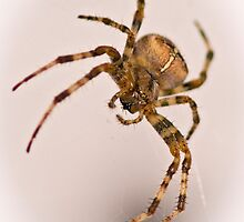 Cross Spider by Bryan Peterson