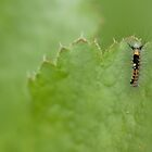 Western Tussocks Moth Larva by Kate Krutzner