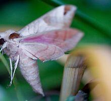 Pink Moth by Kate Krutzner