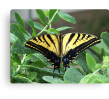 Tigertail Swallowtail Butterfly ~2~ Canvas Print