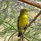 Western Tanager ~ Nonbreeding Male by Kimberly Chadwick