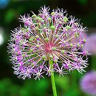 Allium Beauty - Virginia State Arboretum by James Brotherton