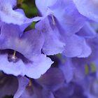 Jacaranda flower by kerenmc